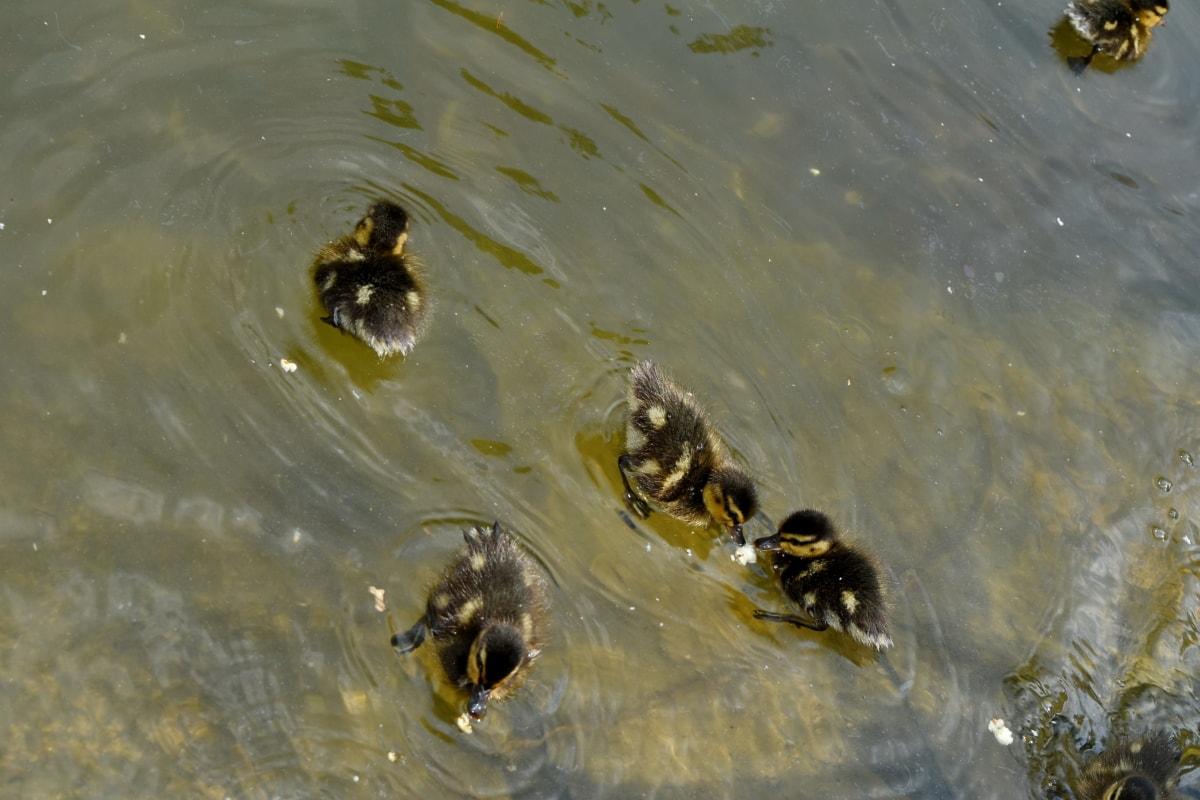 duckling, lake, water, outdoors, nature, pool, wet, wildlife