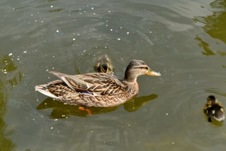 wildlife, duck, aquatic bird, lake, bird, water, duck bird, waterfowl