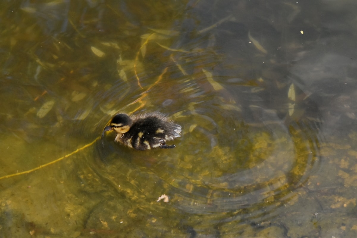 aquatic bird, duckling, water, river, pool, wildlife, lake, outdoors