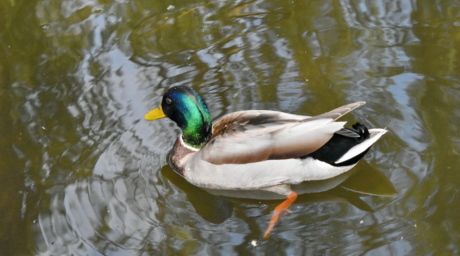 wildlife, duck, lake, waterfowl, duck bird, pond, bird, water