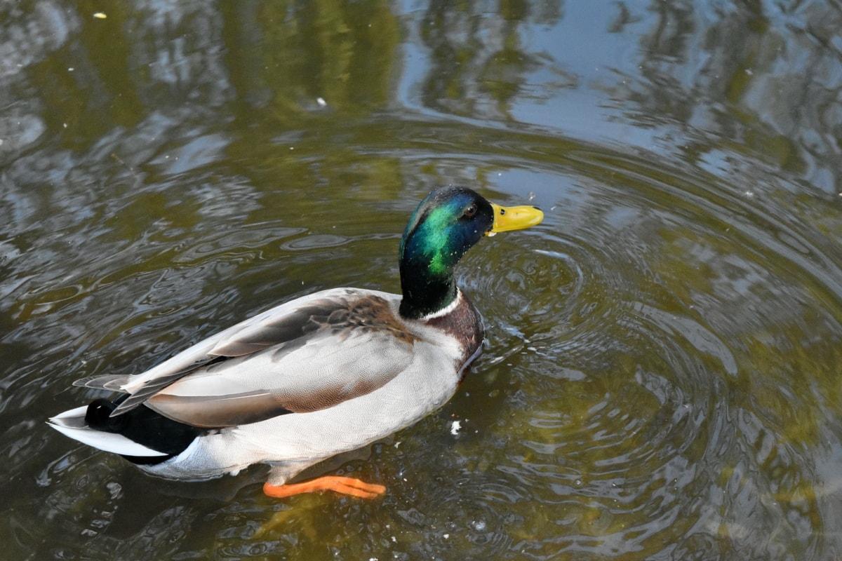 vodena ptica, patka, Divljina, biljni i životinjski svijet, jezero, ptica patka, ptice vodarice, ptica
