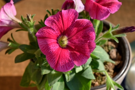 detail, flowerpot, petunia, red, flowers, flora, bloom, flower