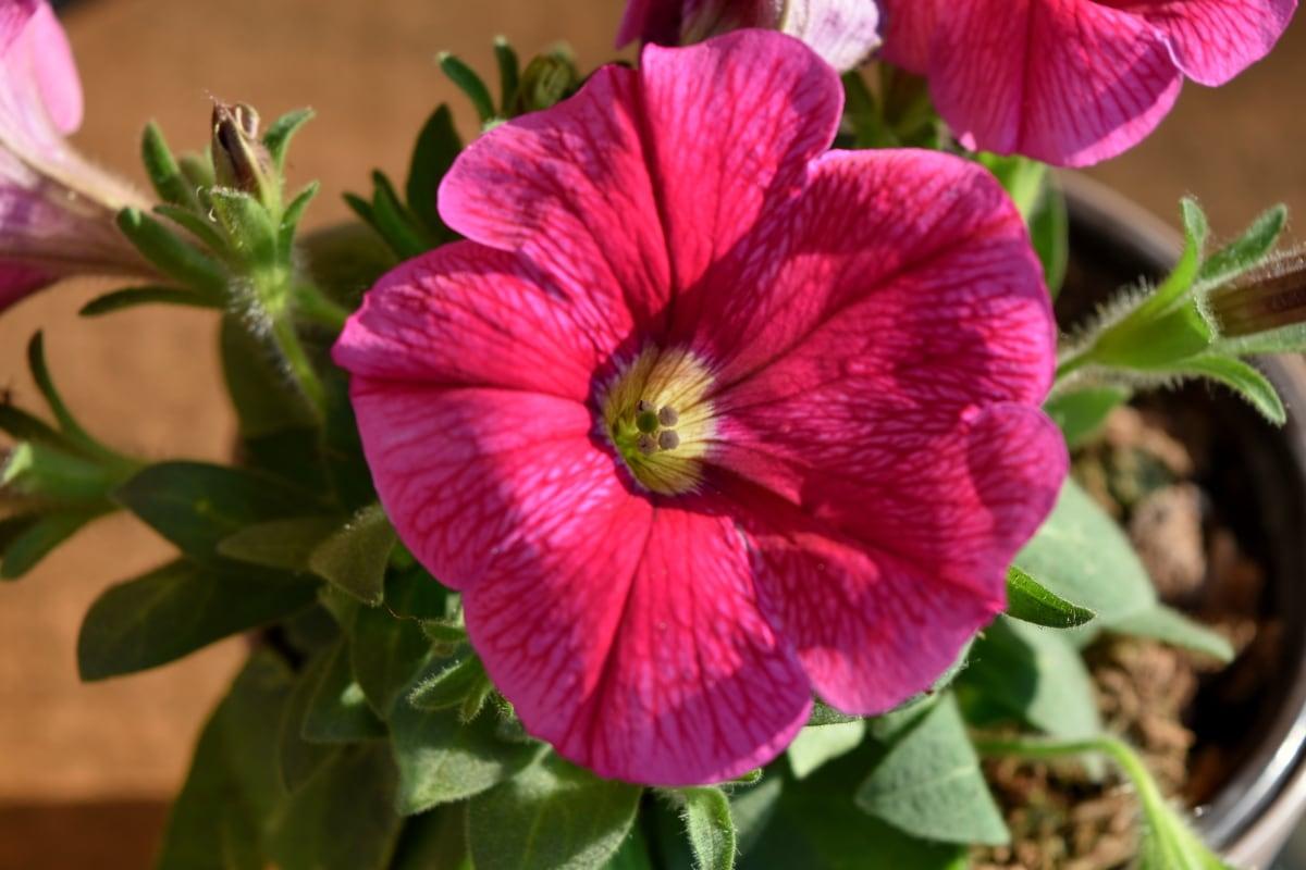 yaprakları, pembe, çiçek, Petunya, çalı, bitki, çiçekler, doğa