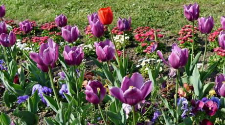 สวนดอกไม้, ดอกไม้, ฤดูใบไม้ผลิ, ดอกทิวลิป, ฟลอรา, สวน, ธรรมชาติ, ทิวลิป
