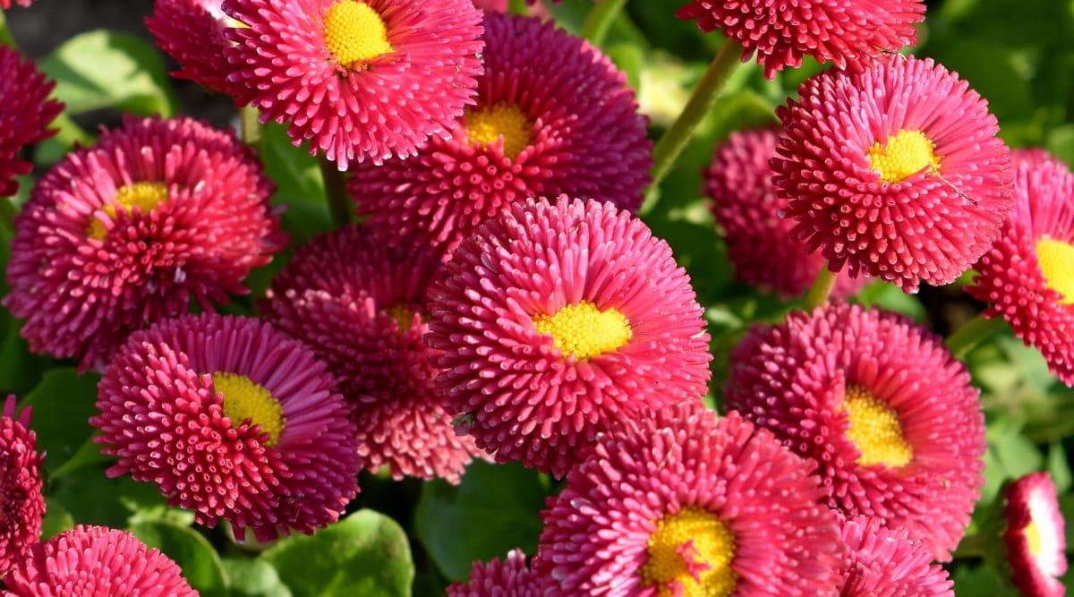 príroda, Záhrada, kvet, ružová, flóra, letné, krídlo, Farba