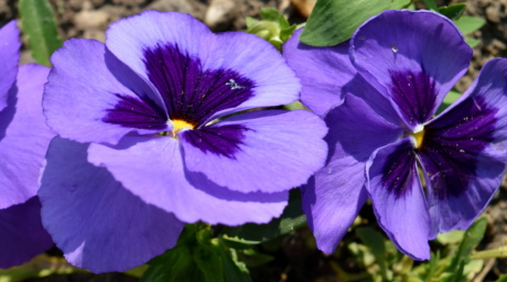 horticulture, flower, nature, flowers, viola, flora, herb, plant