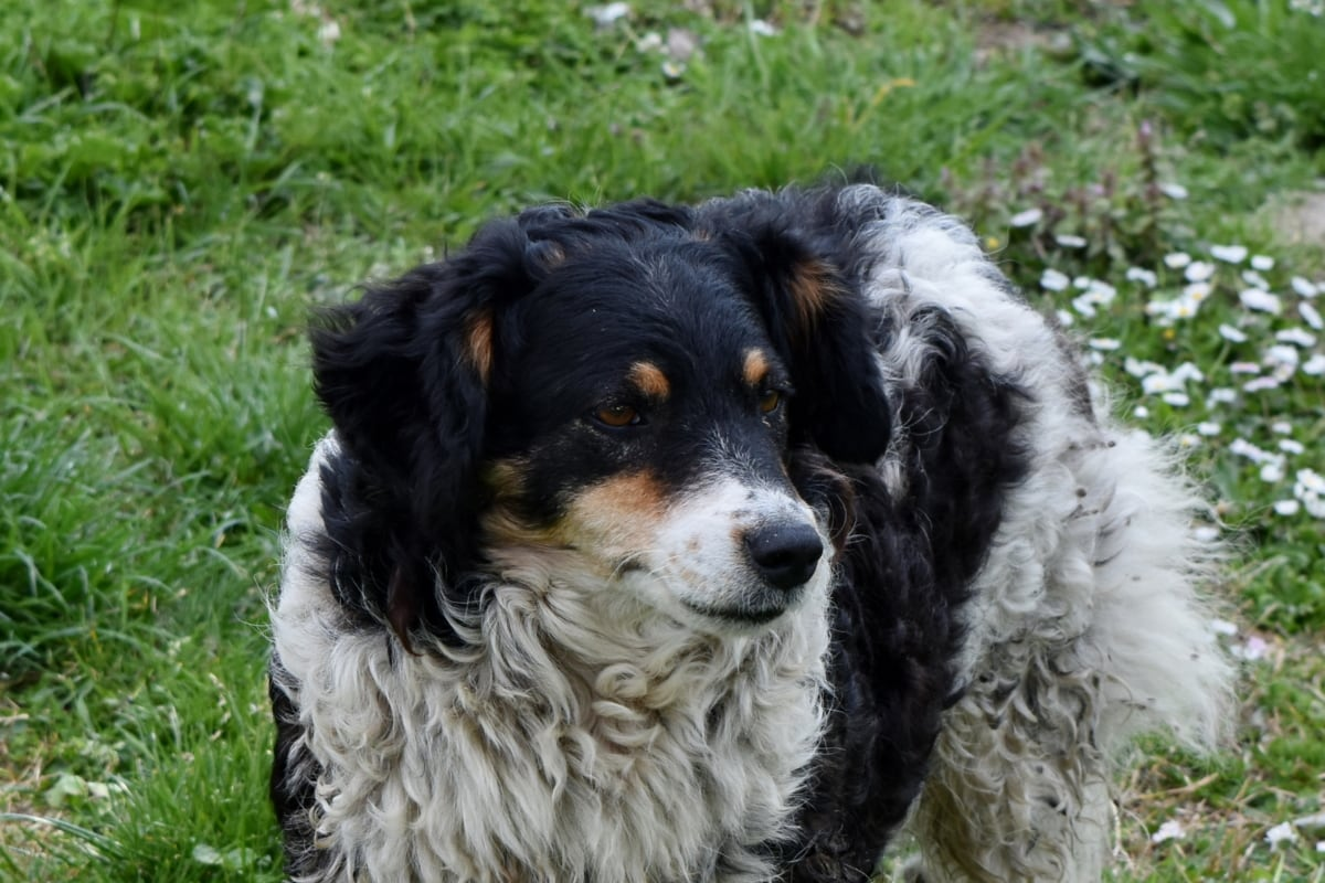 green grass, pedigree, dog, hound, animal, pet, puppy, hunting dog