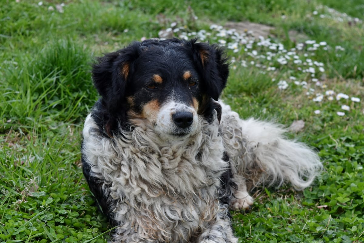 Szkocki Owczarek, pies pasterski, przyjaciel, szczeniak, ładny, pies, psi, trawa