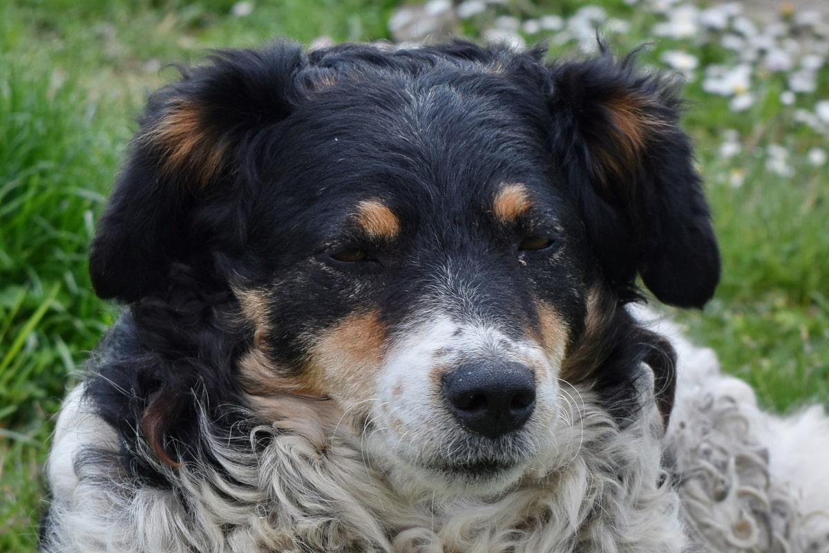Голова, Шотландська вівчарка, вівчарка, собака, щеня, собак, домашня тварина, тварини