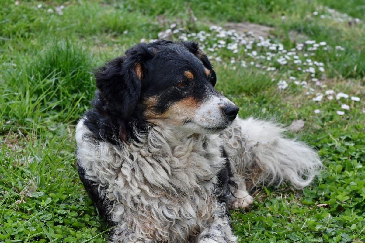 purebred, dukke, hunden, søt, kjæledyr, dyr, gresset, Pels