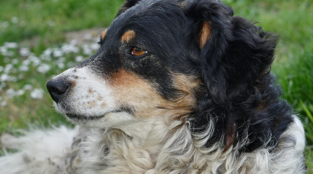 köpek, av köpeği, şirin, köpek, hayvan, portre, köpek yavrusu, Kürk