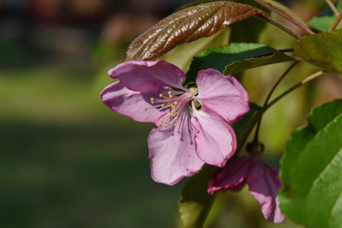 pistill, spring, blomma, ört, rosa, Anläggningen, trädgård, blomma