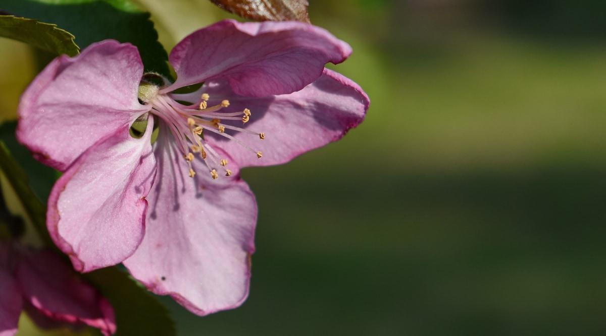 bloementuin, roze, stamper, plant, natuur, bloemblad, struik, tuin