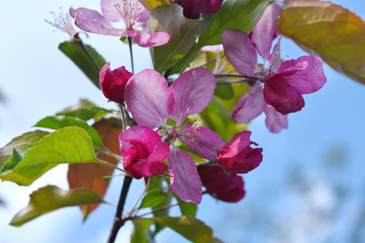 лист, квітка, флора, завод, природа, квітучі, рожевий, сад