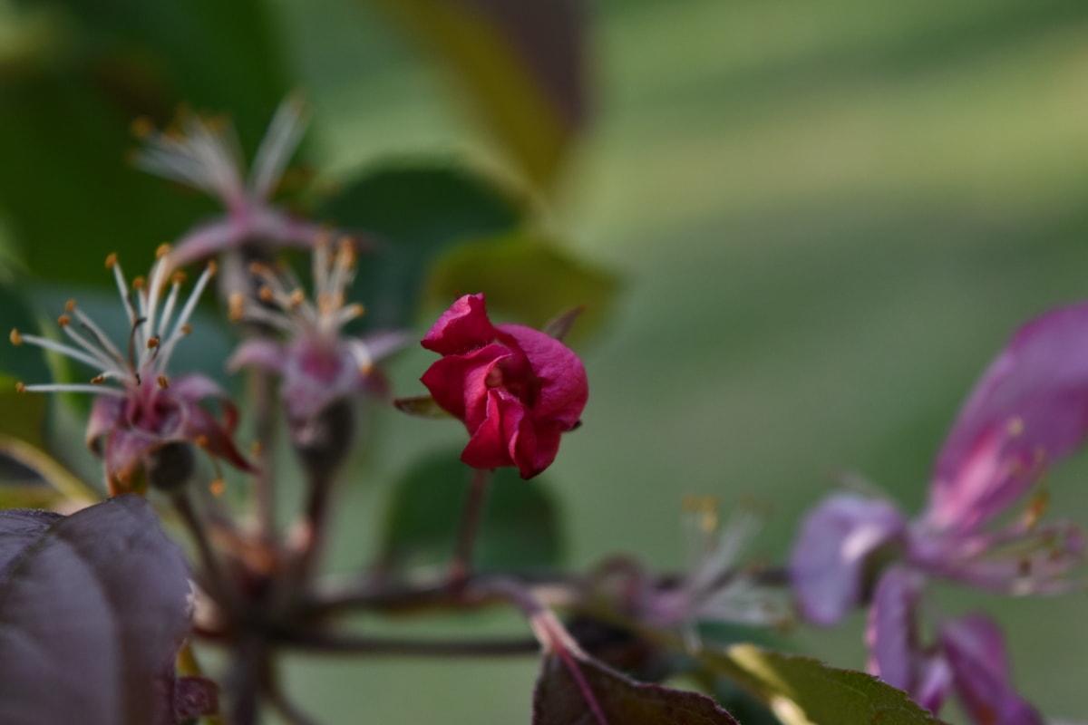 blad, bloemblad, struik, flora, bloesem, roze, natuur, plant