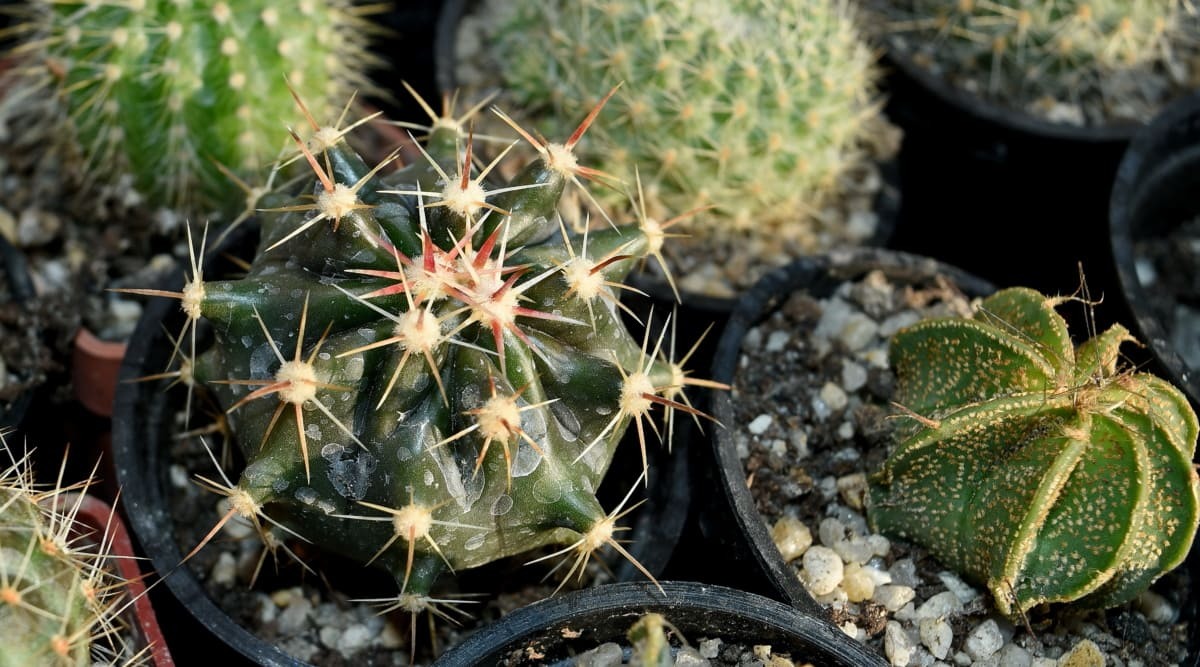 cactus, spike, nature, sharp, flora, back, garden, dry