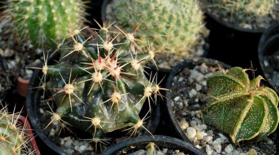Kaktus, Spike, Natur, scharfe, Flora, Sichern, Garten, trocken