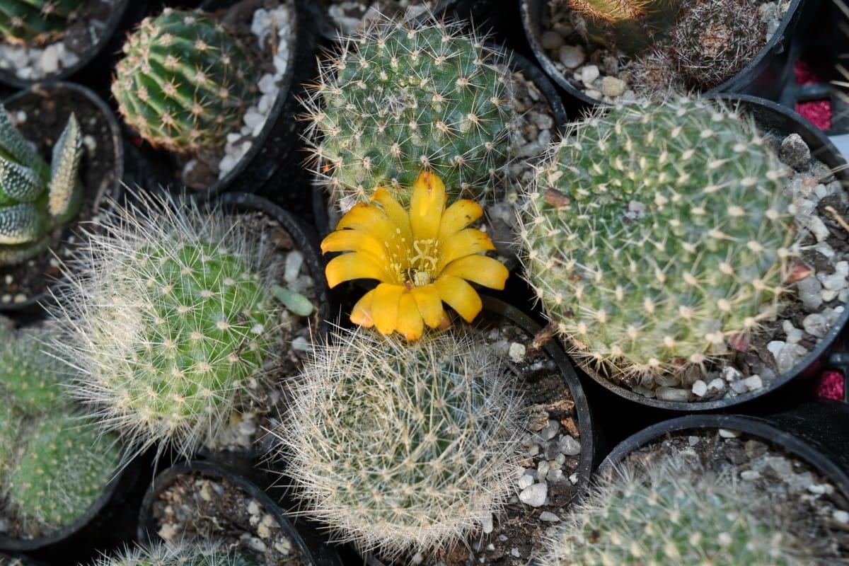 saksija za cvijeće, flore, pustinja, šiljak, priroda, kaktus, oštar, egzotične