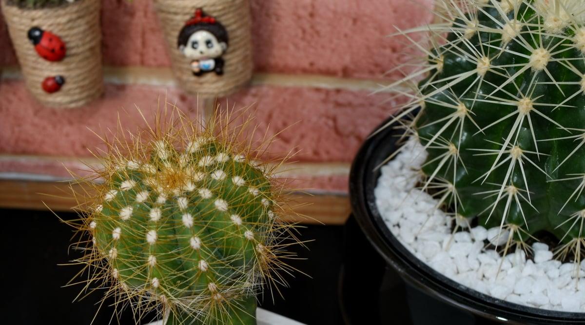 kaktus, miniatyr, minimalism, tillbaka, öken, skarp, Anläggningen, naturen