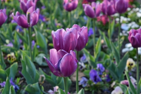 flower garden, flowers, tulip, plant, summer, flora, flower, tulips