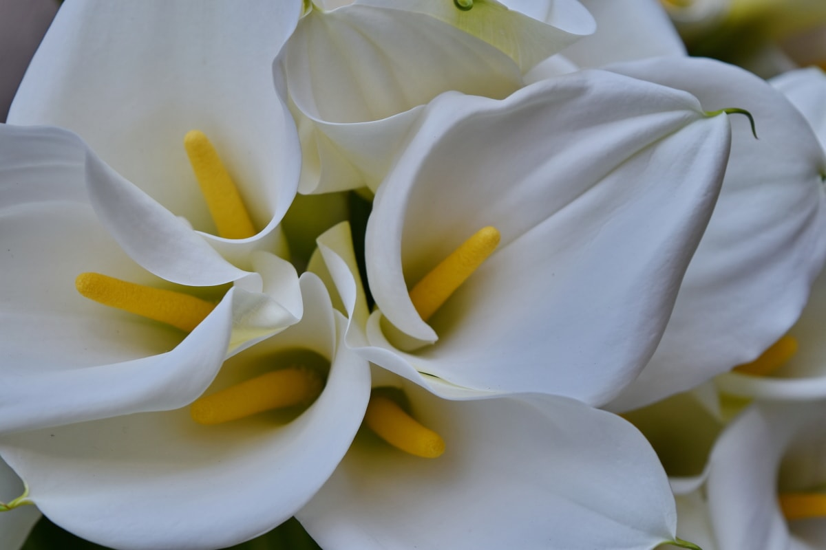 botany, horticulture, white flower, lily, nature, flower, white, beautiful