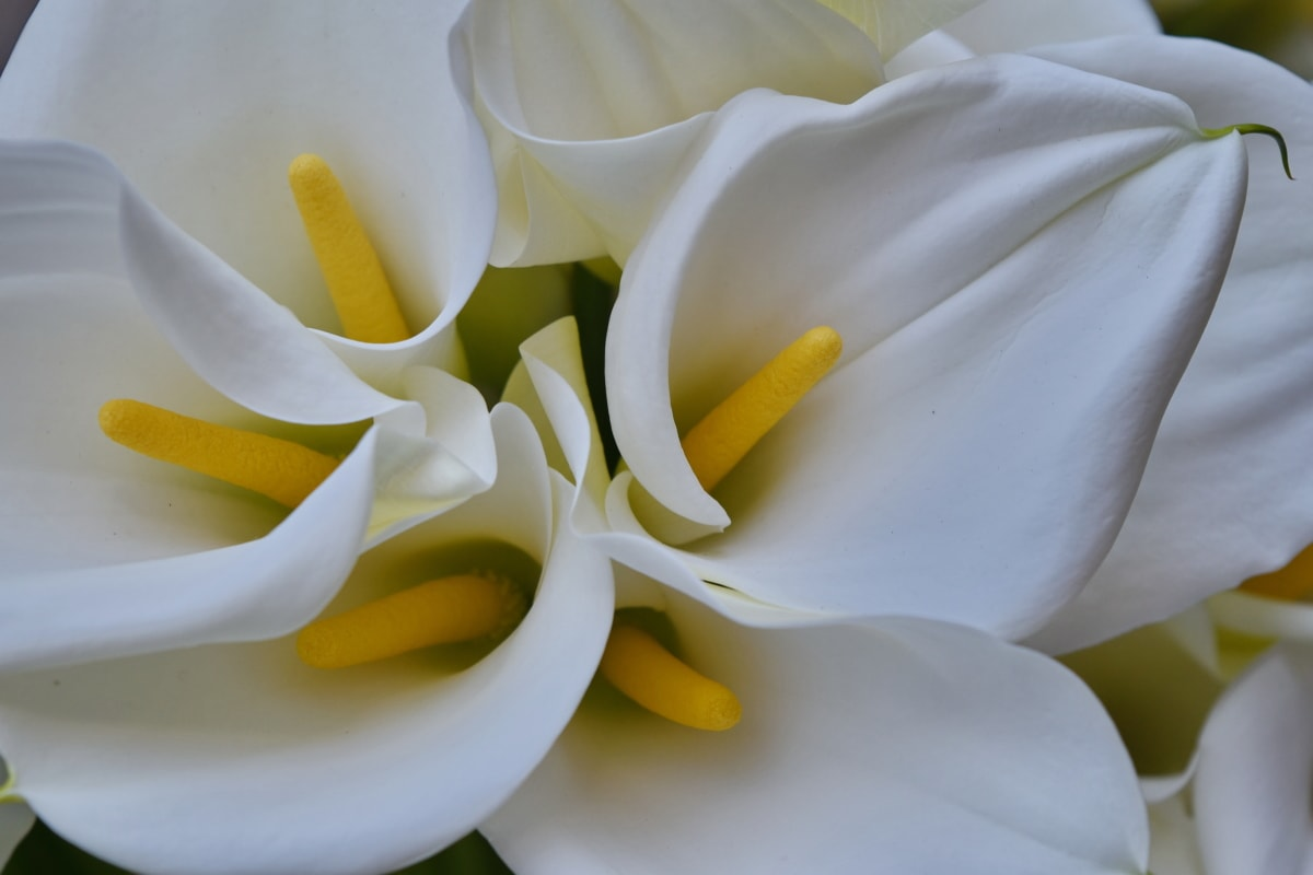beautiful, detail, lily, white, flower, petal, nature, flora