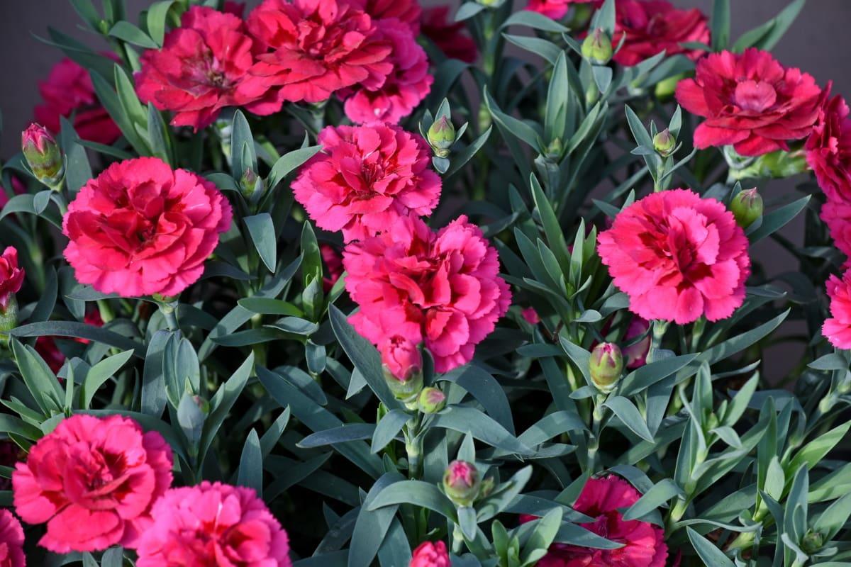 Карамфил, розово, растителна, листа, градина, флора, природата, розово, букет, цвете