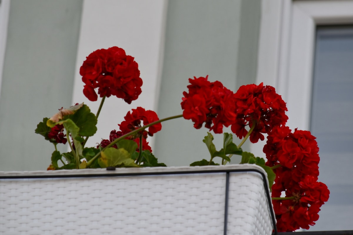 부케, 꽃, 관목, 꽃, 제라늄, 공장, 플로 라, 장식, 자연, 사랑