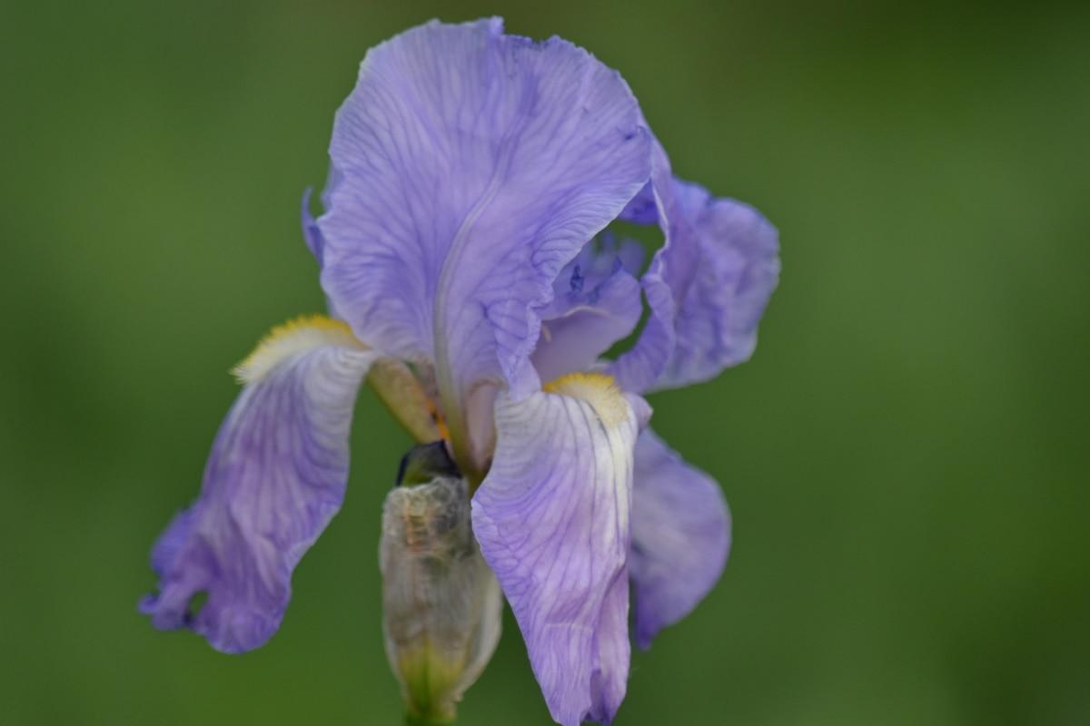 krásné květiny, botanické, detaily, zahradnictví, iris, jaro, květ, okvětní lístek, zahrada, Příroda