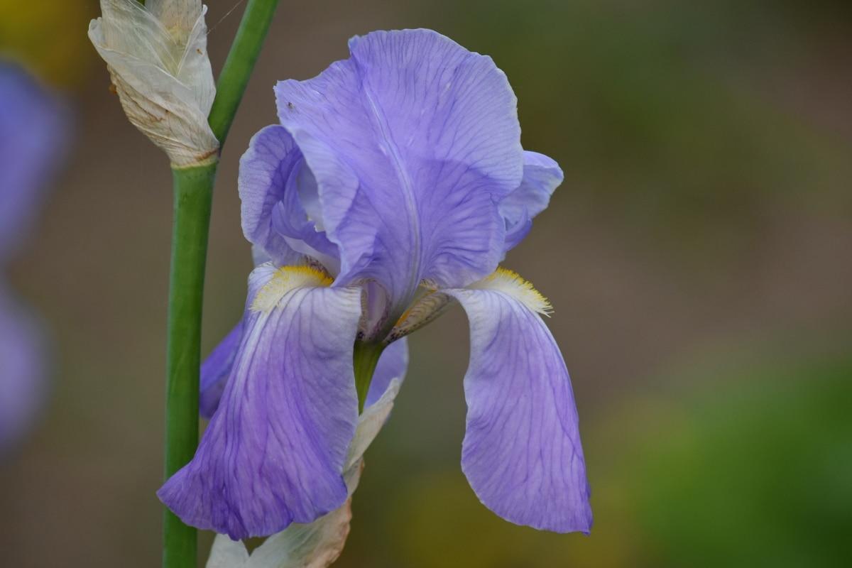 Hortikultura, Iris, makro, serbuk sari, tanaman, alam, bunga, flora, daun, mekar