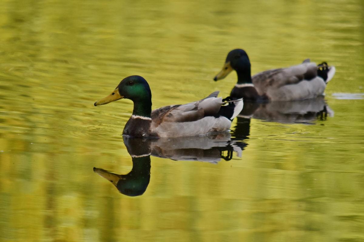 vadon élő állatok, medence, tó, kacsa madár, víz, vízimadarak, Tőkés, kacsa, madár, baromfi