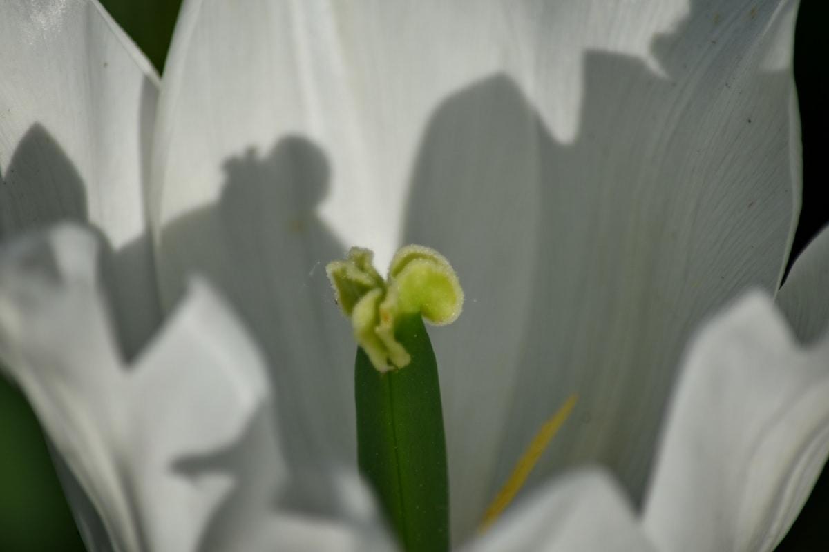 organismen, pistill, vit blomma, blomma, Anläggningen, Narcissus, tulpan, flora, naturen, blad