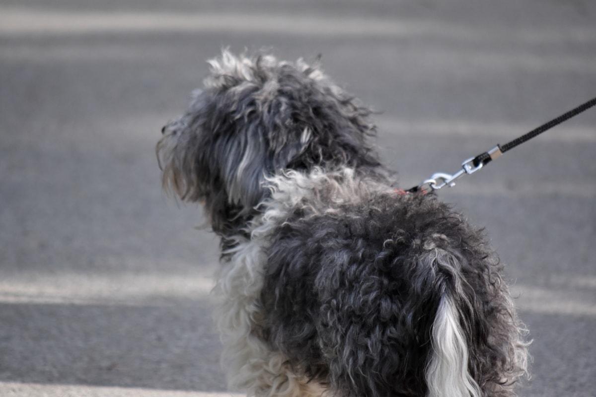 pas, siva, kolnika, ulica, pas, lovački pas, životinja, na otvorenom, portret, slatka