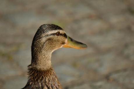 side view, duck bird, waterfowl, beak, feather, wildlife, bird, duck, nature, animal