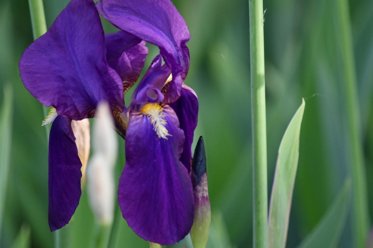 purple, petal, spring, flower, iris, flora, nature, plant, garden, leaf