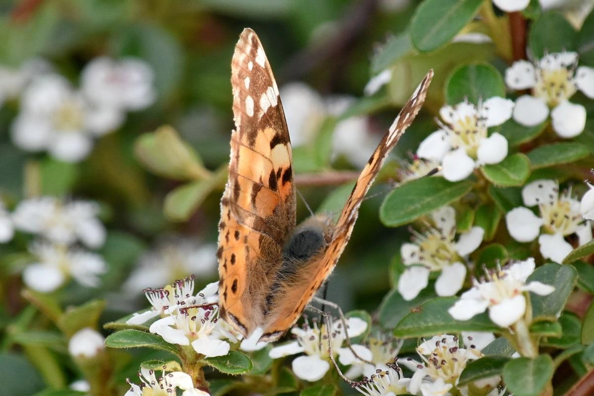 krzew, Motyl, kwiat, Natura, owad, roślina, liść, flora, ogród, na zewnątrz