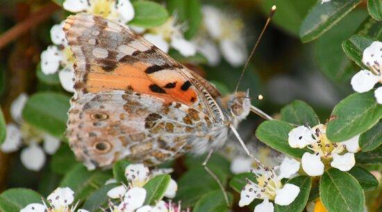 Bauernorchideen, Schmetterling-Anlage, Makro, Mimikry, Blume, Insekt, Anlage, Schmetterling, Natur, Garten