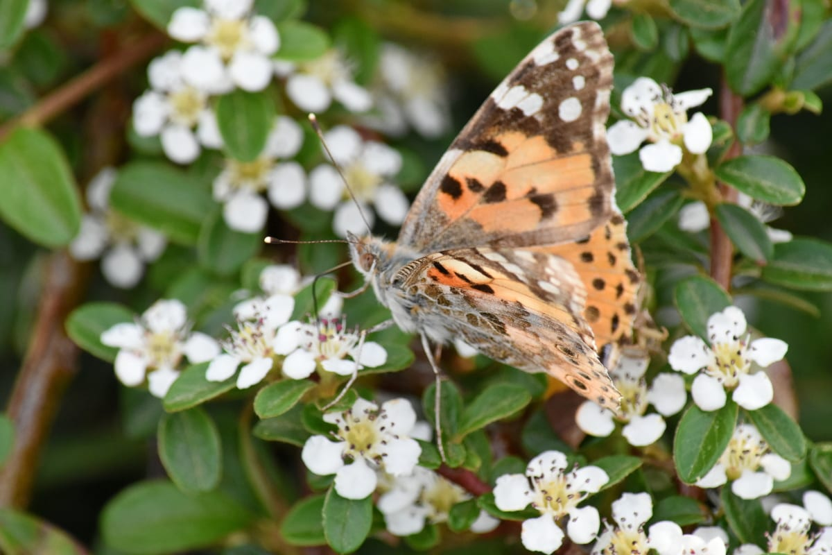 bướm, đầy màu sắc, Xem chi tiết, Hoa, Thiên nhiên, Sân vườn, thảo mộc, mùa xuân, hoa, thực vật