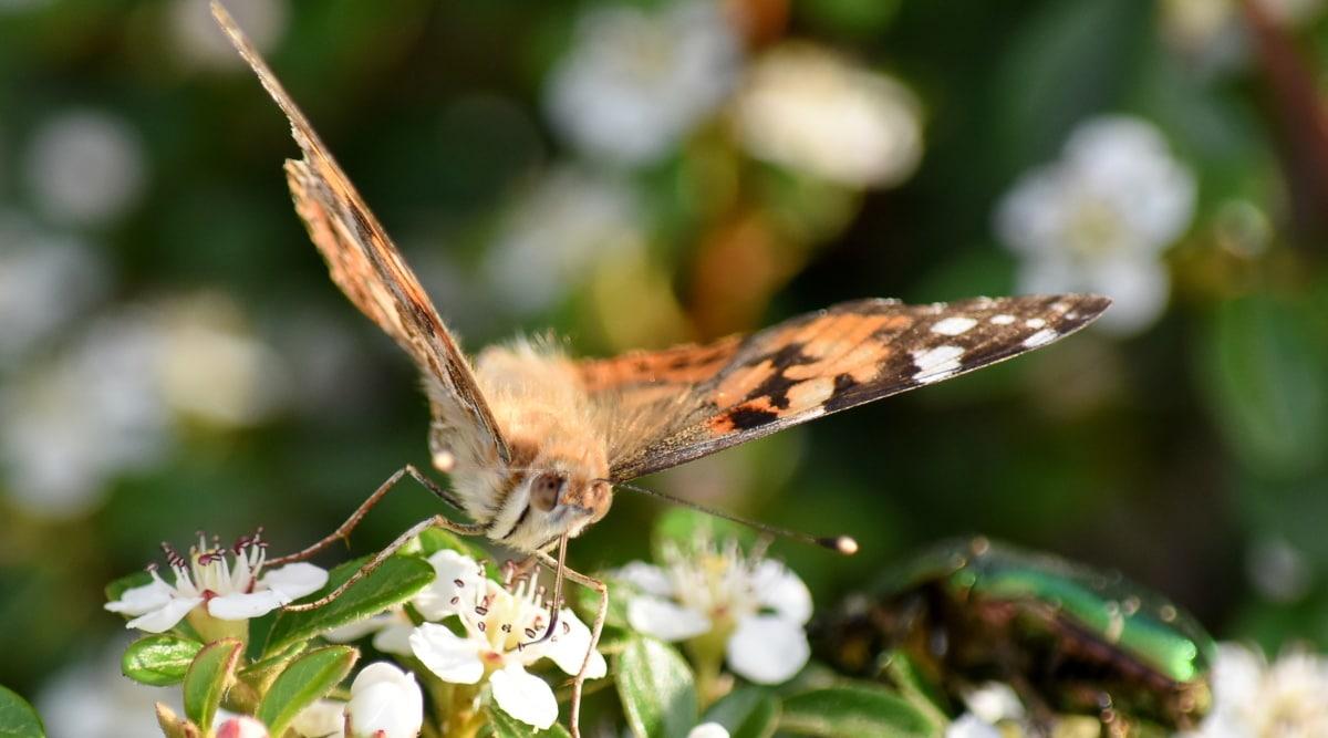 Butterfly kukka, kukka, niveljalkaisten, siipi, Luonto, perhonen, hyönteinen, villieläimet, eläinten, ulkona