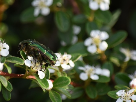 beetle, green, flowers, spring, flower, garden, shrub, plant, herb, blossom