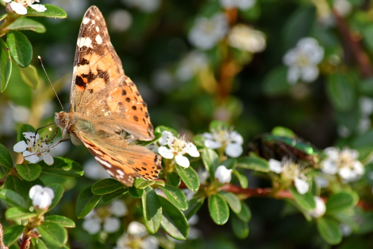 ízeltlábúak, pillangó, pillangó növény, gerinctelen, mimikri, növény, tavaszi, cserje, virág, fa