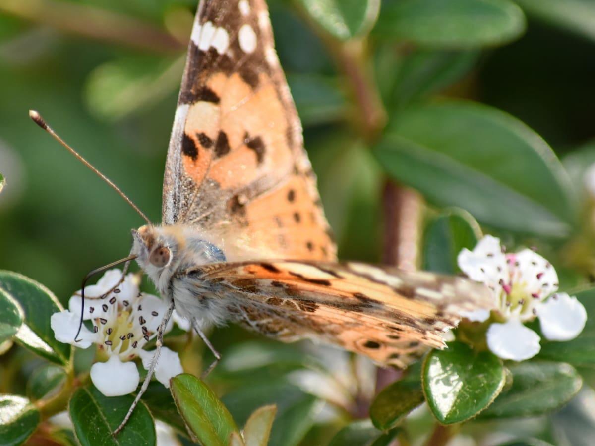 motýlí květina, mimikry, můra, Příroda, závod, bylina, květ, motýl, hmyz, zahrada