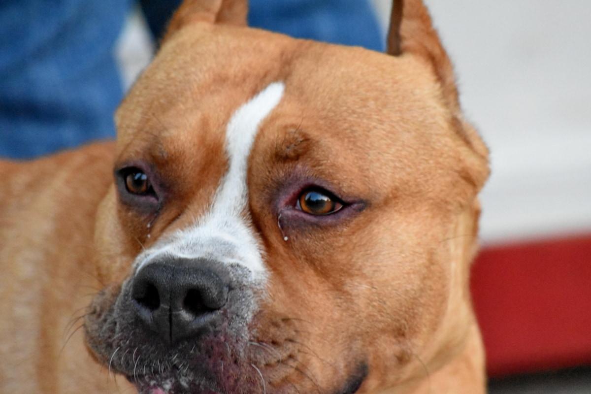 boxeador, marrón, perro, nariz, árbol genealógico, canino, cachorro, lindo, perro de caza, vertical