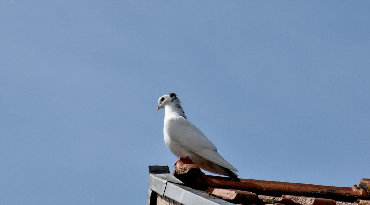 fågel, duva, vit, vilda djur, fjäder, naturen, Utomhus, dagsljus, sidovy, djur