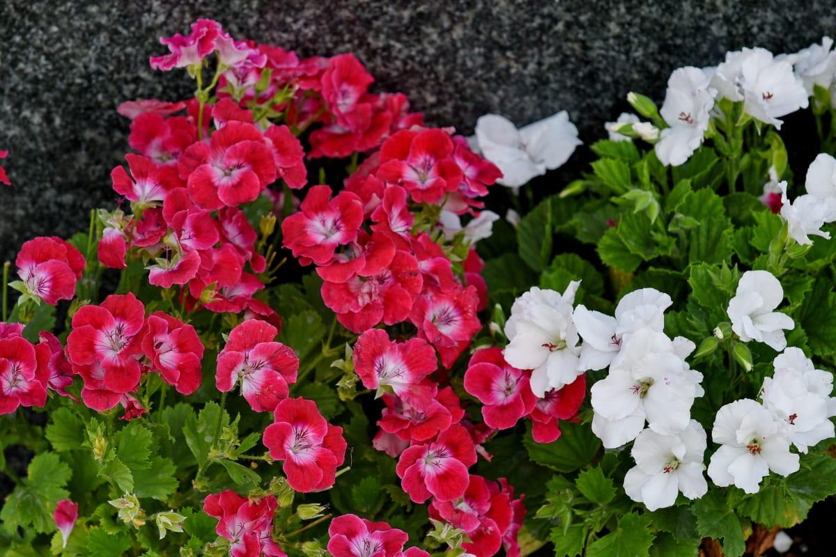 rosa, flor branca, natureza, flora, Petúnia, jardim, flores, florescendo, flor, planta