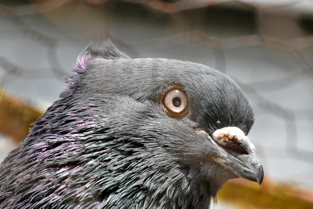 næb, bur, mørk, øje, fjer, due, Portræt, fugl, dyr, natur