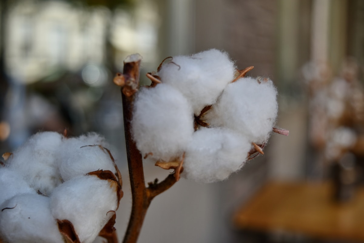 branches, cotton, cotton grass, shrub, frost, plant, outdoors, blur, nature, cold