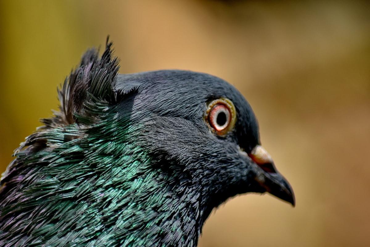 detaljer, øje, hoved, due, Portræt, sideudsigt, næb, fugl, fjer, dyr