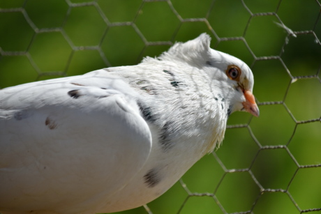 cage, fence, pigeon, white, dove, bird, wing, wildlife, feather, animal