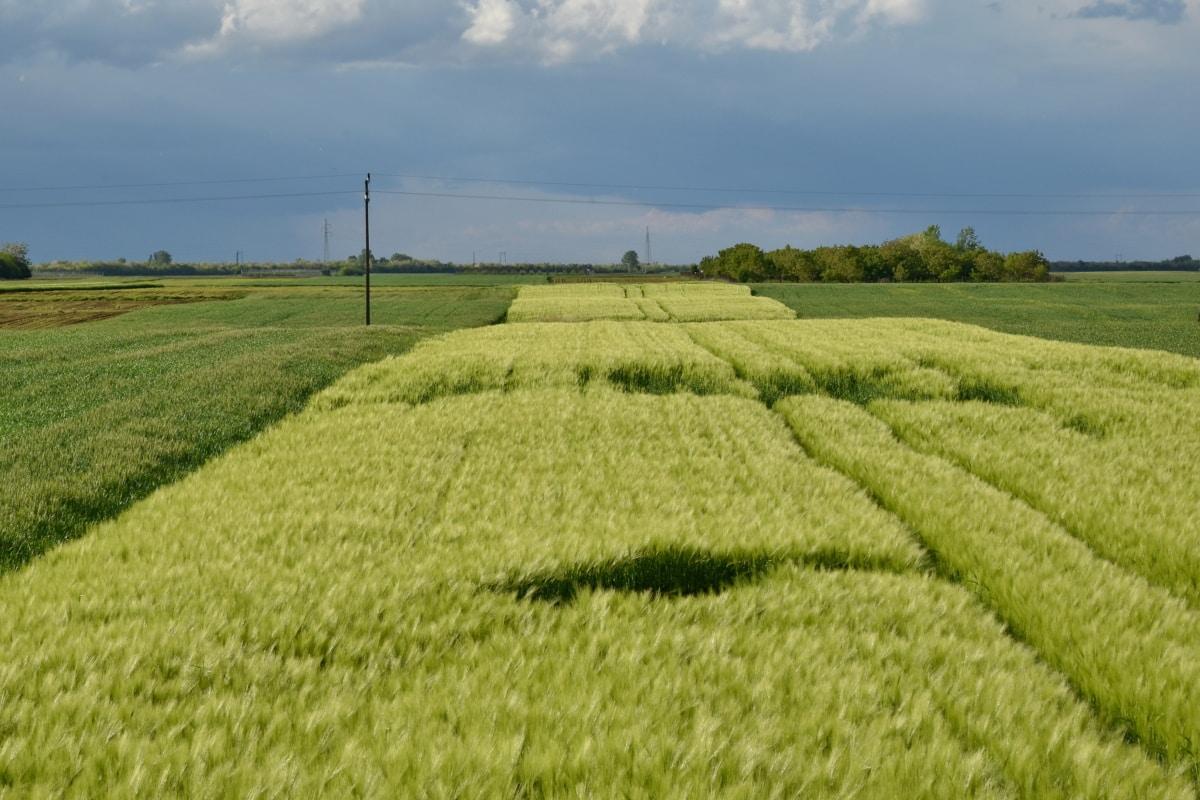granen, daglicht, landbouw, landbouwgrond, Korenveld, boerderij, tarwe, veld, landbouw, weide
